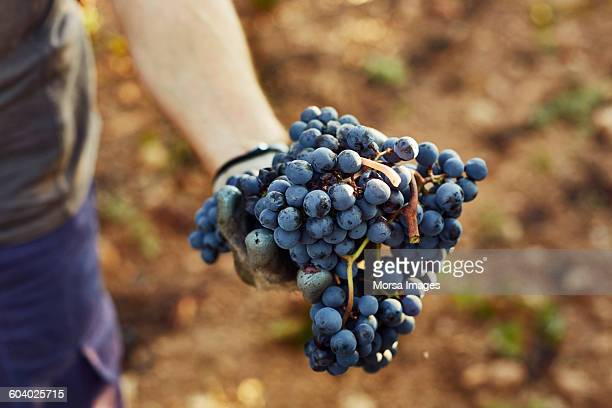 hand holding grapes at vineyard - druif stockfoto's en -beelden