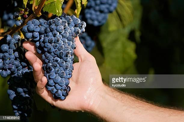 mão segurando as uvas nas videiras - cabernet sauvignon grape - fotografias e filmes do acervo
