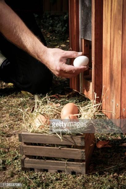 hand holding hen's egg - poulailler photos et images de collection