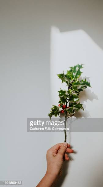 hand holding holly - what color are the berries of the mistletoe plant stock pictures, royalty-free photos & images