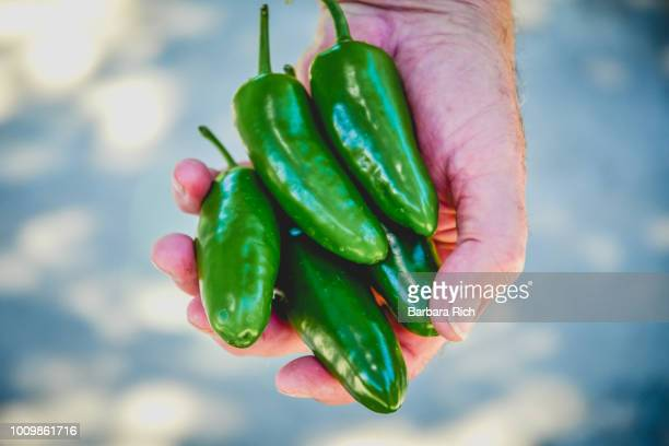 hand holding jalapeno peppers fresh from the garden - jalapeno stock-fotos und bilder