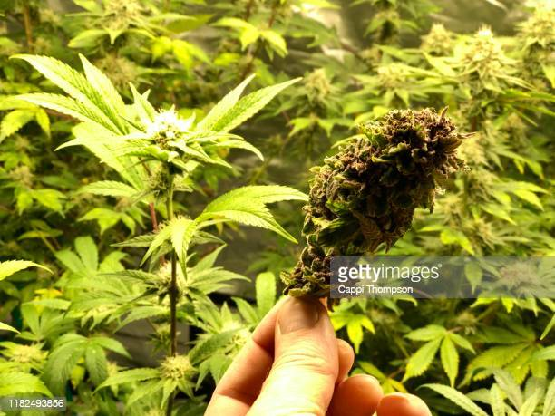 hand holding medical cannabis bud in front of indoor plants growing - marijuana leaf stock pictures, royalty-free photos & images