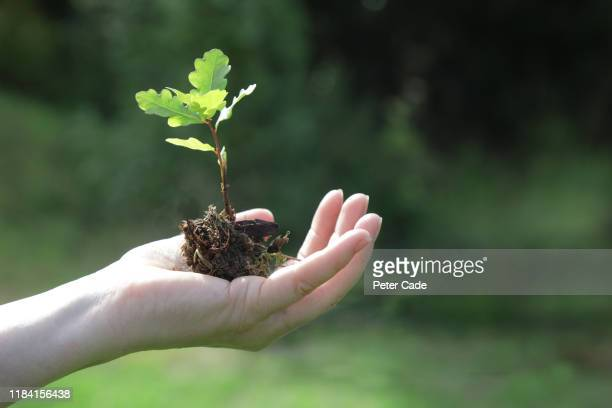 hand holding oak tree seedling - environmental conservation stock pictures, royalty-free photos & images