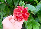 beautiful flower hand holding red hibiscus