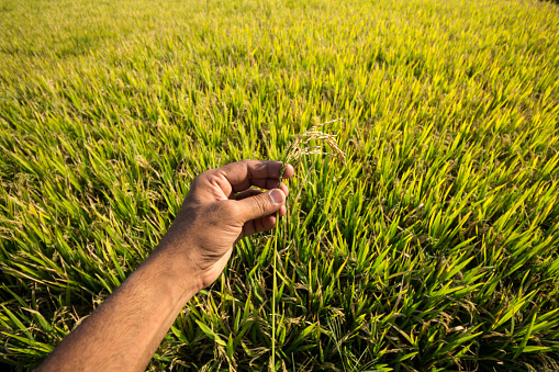 A hand holding rice stalk against rice paddy field in rural Karnataka, India. - gettyimageskorea