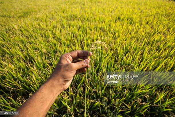 A hand holding rice stalk against rice paddy field in rural Karnataka, India.