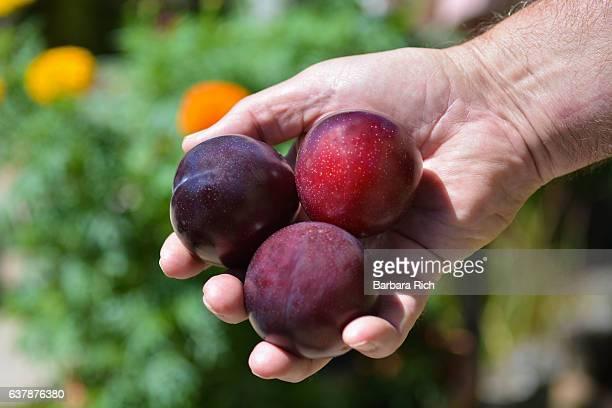 Hand holding ripe Santa Rosa Plums