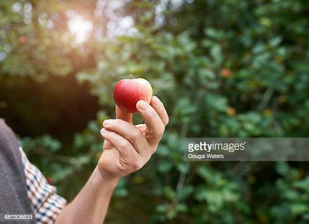Hand holding single apple on orchard.