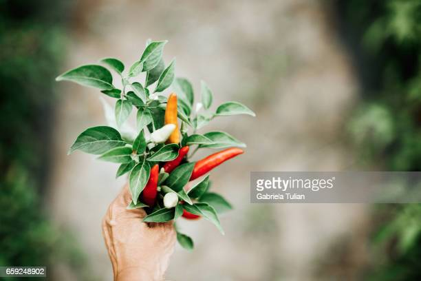 Hand holding some red chili peppers in a vegetable garden