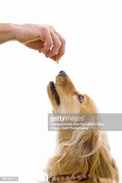 hand holding treat above dog's nose - cef do not delete stock pictures, royalty-free photos & images