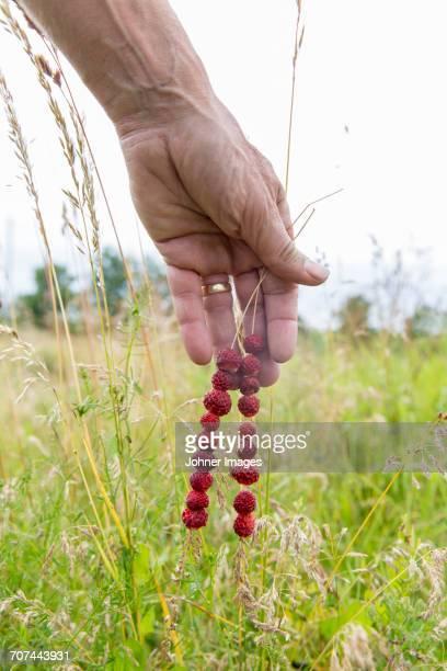 Hand holding wild strawberries on grass blades