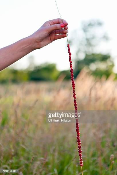 Hand holding wild strawberries on grass