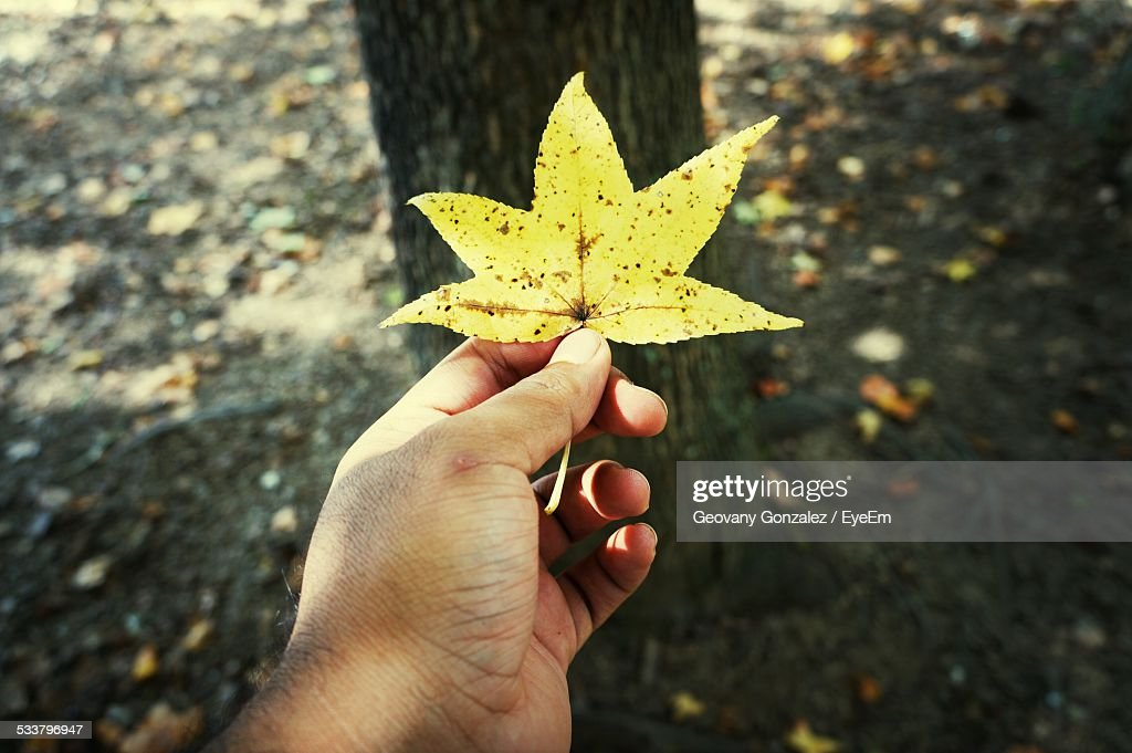 Hand Holding Yellow Leaf : Foto stock