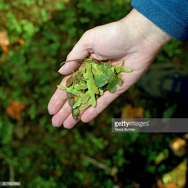 A hand of a conservation volunteer holding sycamore seeds gathered from the hedgerows around the Castle Howard Estate in North Yorkshire UK They will...