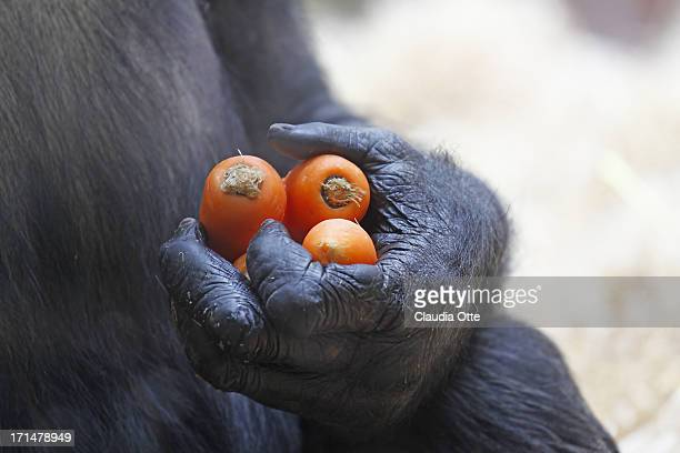 hand of a gorilla - gorilla hand stock photos and pictures