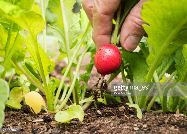 Hand of Caucasian man picking radish in garden
