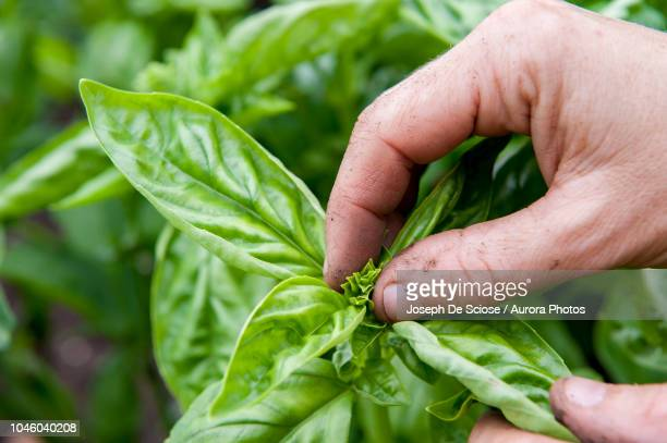hand of person pinching top of basil plant, halifax, nova¬ýscotia, canada - basil stock pictures, royalty-free photos & images