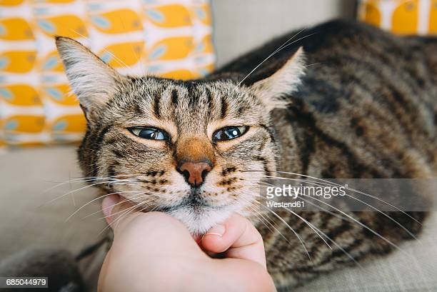 Hand of woman stroking tabby cat