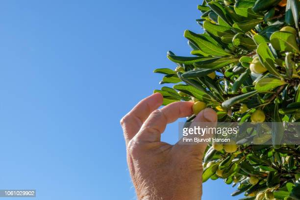 hand picking a fruit from a tree. green leaves and hand against a clear blue sky - finn bjurvoll stock pictures, royalty-free photos & images