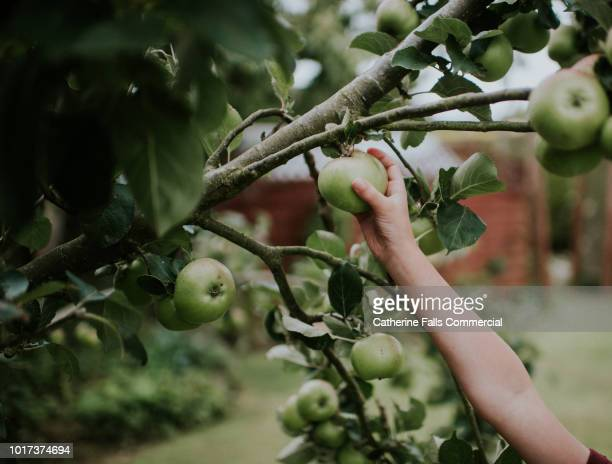hand picking an apple - fruit tree stock pictures, royalty-free photos & images