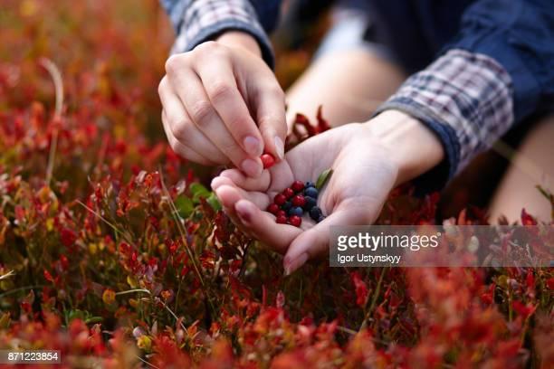 Hand picking blueberries