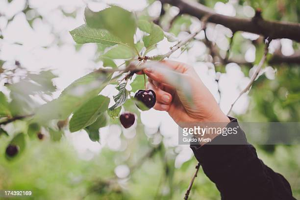 Hand picking cherries in tree.