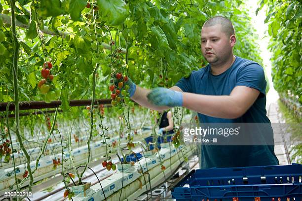 Hand picking cherry tomatoes The Cornerways tomato nursery is the largest greenhouse in the UK It is attached to the British Sugar factory in...