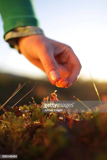 Hand picking cloudberries