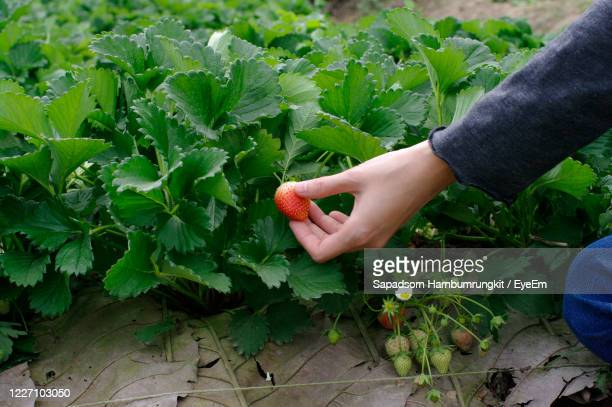 hand picking fresh strawberry at farm - strawberry stock pictures, royalty-free photos & images