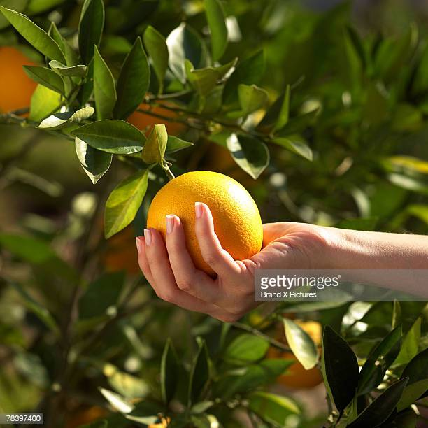 Hand picking orange from tree