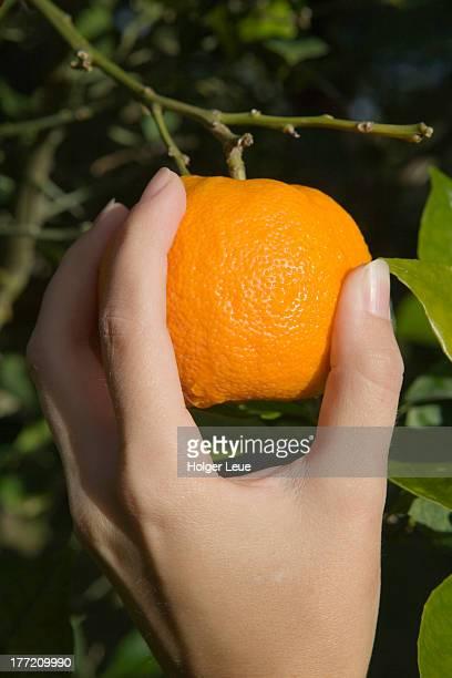 Hand picks an orange from tree
