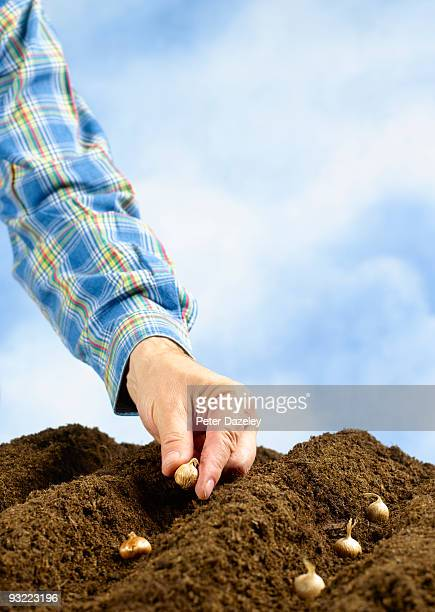 Hand planting crocus bulbs in soil.