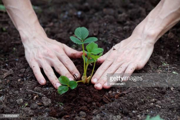 Hand planting strawberry plant in garden soil