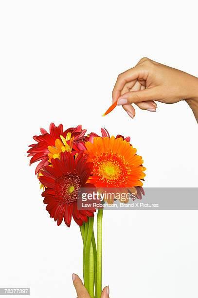 Hand plucking petal off Gerber daisy