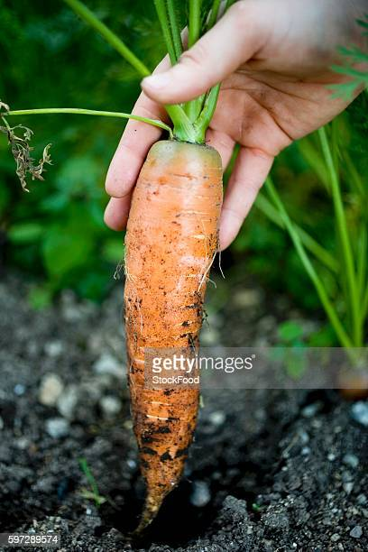 Hand pulling a carrot out of the ground