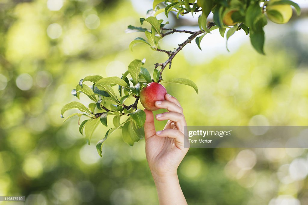 Hand reaching for plum on branch : Stock Photo