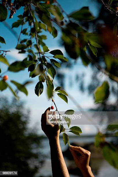 A hand reaching out to pick a cherry, Sweden.