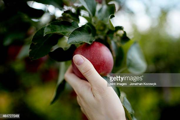 a hand reaching up into the boughs of a fruit tree, picking a red ripe apple.  - apple fruit stock pictures, royalty-free photos & images