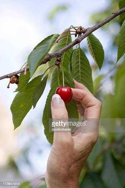Hand reaching up to pick a cherry off the tree