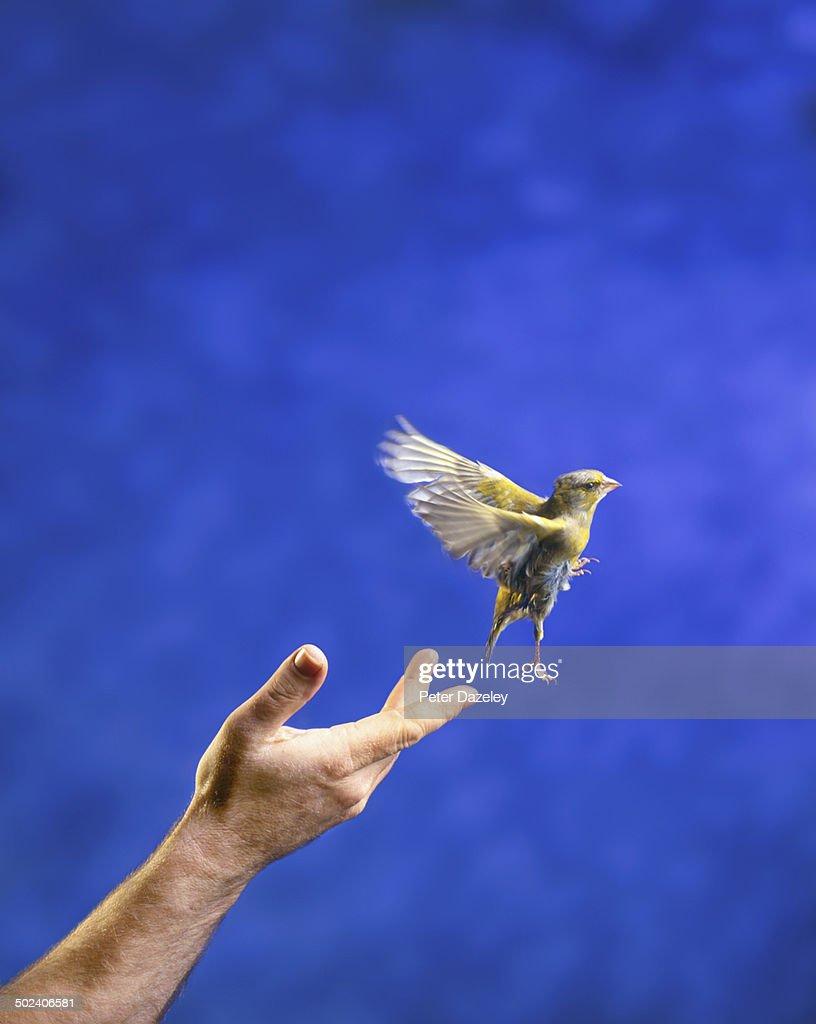 Hand releasing bird : Stock Photo