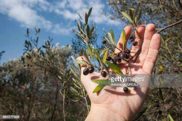 hand showing black olives, olive tree, kalyves, greece, crete - olive orchard stock photos and pictures
