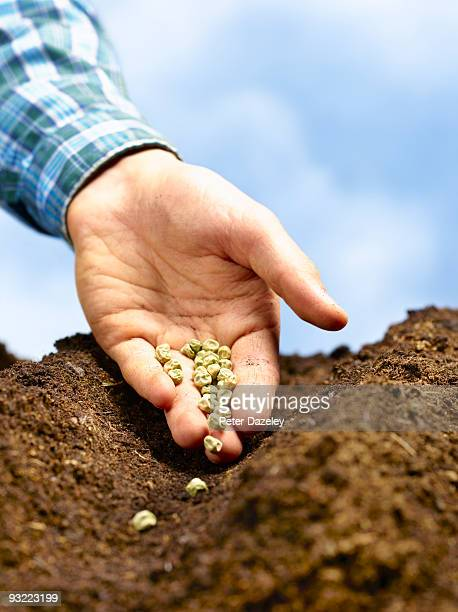 hand sowing green peas into furrow. - vegetable garden stock pictures, royalty-free photos & images