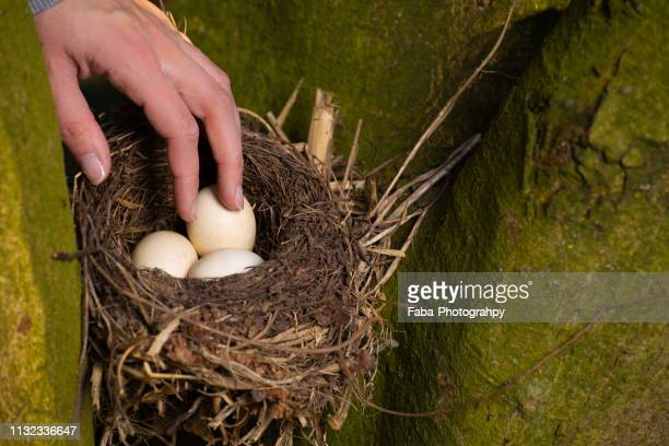 hand stealing eggs out of bird nest - wilde tiere stock pictures, royalty-free photos & images