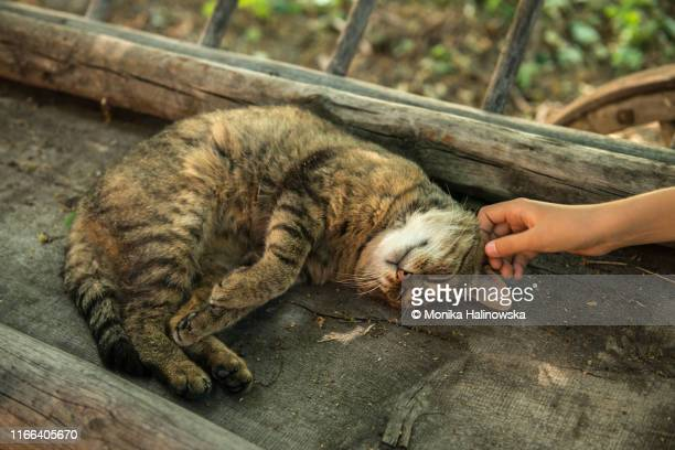 hand stroking cat - lazy poland stock photos and pictures