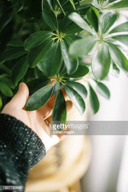 hand touching a green schefflera house plant that is standing in sun - queensland umbrella tree stock pictures, royalty-free photos & images