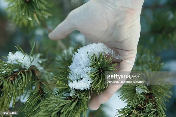 Hand touching snow on pine branch