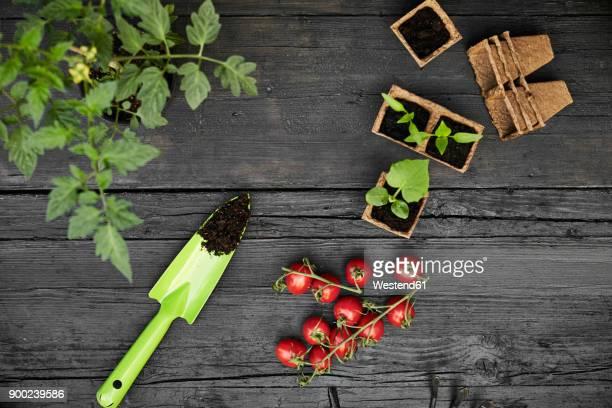 Hand trowel, tomatoes, tomato plant and seedlings on dark wood
