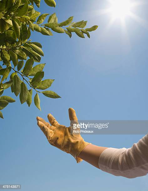 Hand wearing rubber glove reaching out to tree foliage