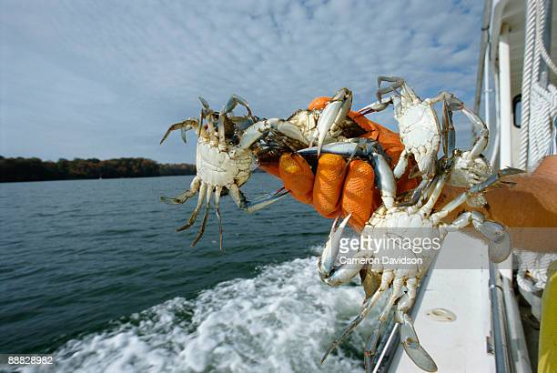 hand with blue crabs - blue crab stock photos and pictures