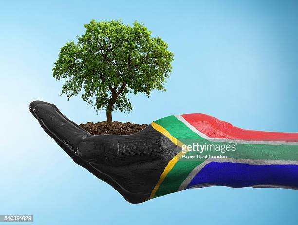 hand with flag of south africa holding a tree - south african flag stock photos and pictures